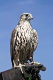 Falcão - pássaro régio Imagens de Stock Royalty Free
