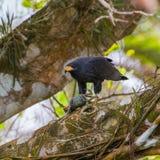 Falcão preto comum Imagem de Stock