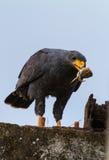 Falcão preto comum Foto de Stock Royalty Free