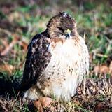 Falcão que senta-se no quintal no gramado verde Foto de Stock Royalty Free