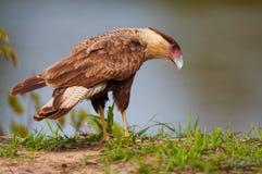 Falcão selvagem do karakara Fotos de Stock Royalty Free