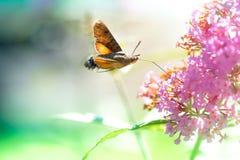 Falcão-traça do colibri do voo com uma flor cor-de-rosa Fotografia de Stock