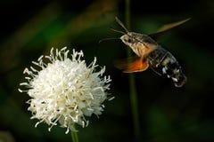 Falcão-traça do colibri - stellatarum de Macroglossum que alimenta na flor na Espanha, Europa imagens de stock