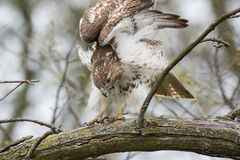 falcão vermelho-atado Fotografia de Stock