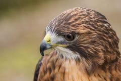 falcão vermelho-atado Fotografia de Stock Royalty Free