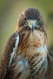 Falcão vermelho da cauda Foto de Stock Royalty Free