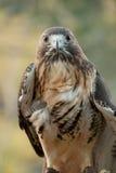 Falcão vermelho da cauda Imagem de Stock Royalty Free