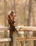 Falcão vermelho da cauda Fotos de Stock Royalty Free