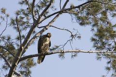 Falcão vermelho da cauda em Torrey Pine Fotos de Stock Royalty Free