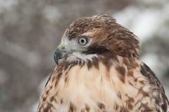 Falcão vermelho da cauda na neve Imagens de Stock Royalty Free