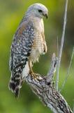 falcão Vermelho-empurrado (lineatus do Buteo) Foto de Stock