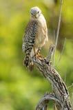 falcão Vermelho-empurrado (lineatus do Buteo) fotografia de stock royalty free