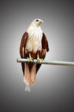 Falcões vermelhos capturados no aço Fotos de Stock Royalty Free