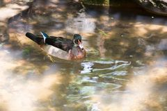 Falcated duck swimming on a pond. The falcated duck or falcated teal is a gadwall-sized dabbling duck Royalty Free Stock Images
