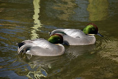 Falcated ducks Royalty Free Stock Image