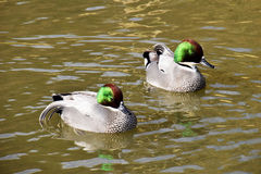Falcated ducks Royalty Free Stock Images