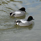 Falcated ducks. Showing their distinctive body plumage Stock Photo