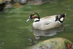 Falcated teal Royalty Free Stock Photos