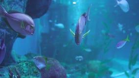 Falcatus Scomber рыб pompano Snubnose в воде видеоматериал