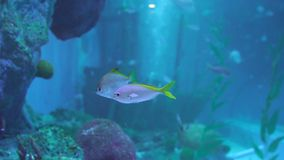 Falcatus Scomber рыб pompano Snubnose в воде акции видеоматериалы