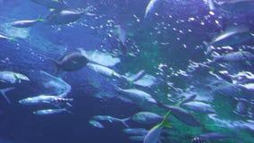 Falcatus Scomber рыб pompano Snubnose в воде сток-видео