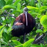 falcinellus glansowani ibisa plegadis zdjęcie stock