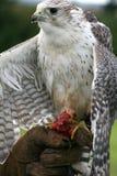 Falco Immagine Stock Libera da Diritti