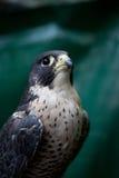 Falco Immagini Stock
