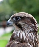 Falco. fotografia stock
