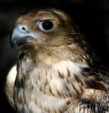 Falco Fotografia Stock