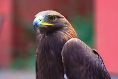 Falco fotografie stock