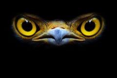Falco. Immagini Stock