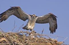 Falco 3 di Ospray Fotografie Stock