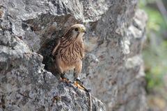 Falco 6 Fotografie Stock Libere da Diritti
