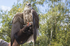 Falco foto de archivo libre de regalías