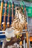 Falco addomesticato fotografia stock libera da diritti
