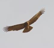 Falco africano del predatore durante il volo immagine stock libera da diritti