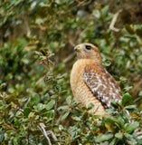 Falco in albero Immagini Stock