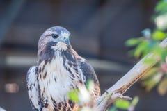 Falco appollaiato su un ramo fotografia stock