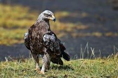 Falco-aquila che si siede sullo sbarco Immagini Stock Libere da Diritti