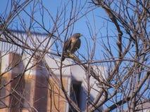 Falco arancio-breasted Fotografie Stock