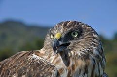 Falco Australasian del predatore Immagine Stock Libera da Diritti