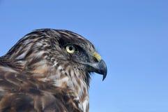 Falco Australasian del predatore Immagini Stock Libere da Diritti