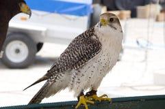 Falco bianco Fotografia Stock