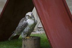 Falco bianco Immagini Stock