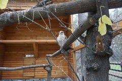 Falco bianco che si siede su un ramo immagine stock