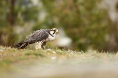 Falco biarmicus. Predator was photographed in the Czech Republic. Big predatory bird living in Africa, Southeast Europe and Asia. Autumn nature. Bird. Nice Stock Images