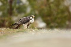Falco biarmicus. Predator was photographed in the Czech Republic. Big predatory bird living in Africa, Southeast Europe and Asia. Autumn nature. Bird. Nice Stock Image
