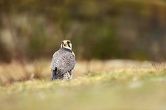 Falco biarmicus. Predator was photographed in the Czech Republic. Big predatory bird living in Africa, Southeast Europe and Asia. Autumn nature. Bird. Nice Royalty Free Stock Images