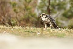 Falco biarmicus. Predator was photographed in the Czech Republic. Big predatory bird living in Africa, Southeast Europe and Asia. Autumn nature. Bird. Nice Royalty Free Stock Photo